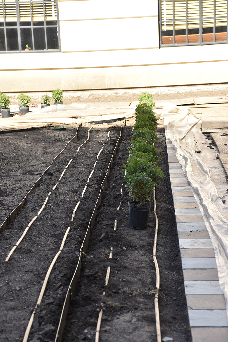 Potted privet hedge set in place between the irrigation pipes